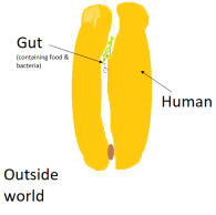 humans are doughnut-shaped 2