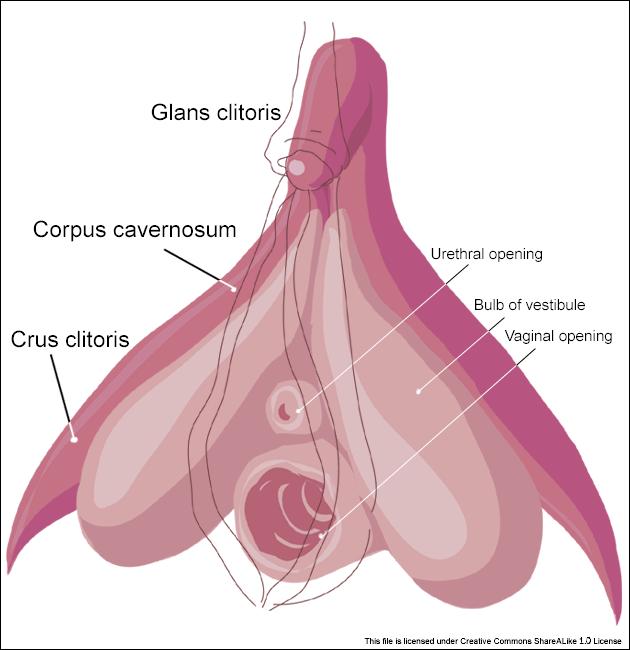 Clitoris_inner_anatomy