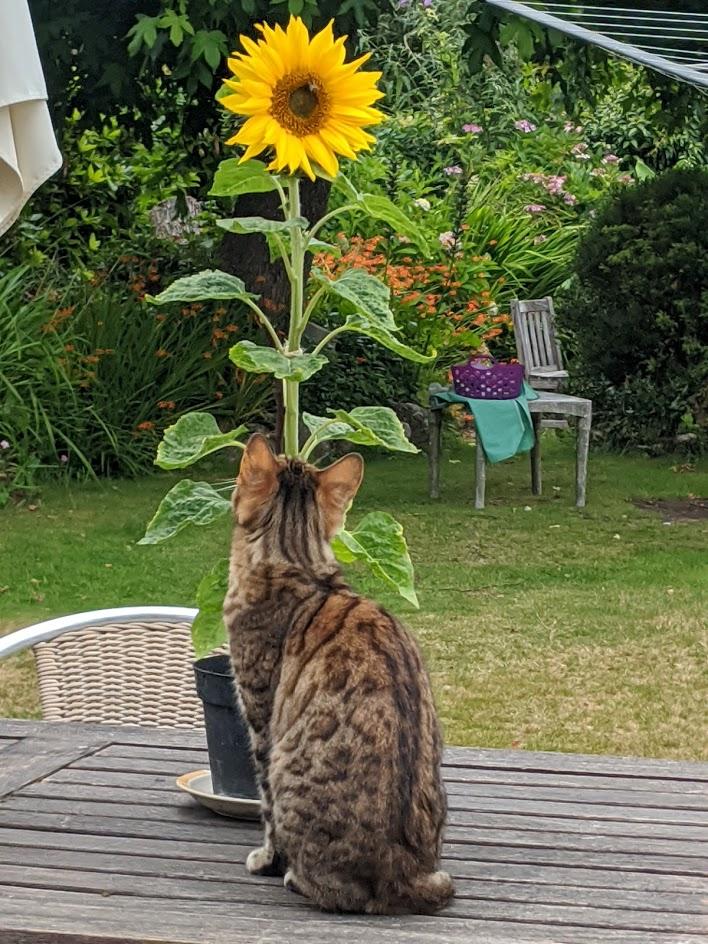 Miep sunflower